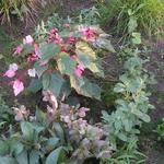 Acer conspicuum 'Red Flamingo' - Acer conspicuum 'Red Flamingo' - bontbladige esdoorn