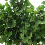 Ginkgo biloba 'Mariken' - Ginkgo biloba 'Mariken' - Japanse notenboom / Japanse tempelboom