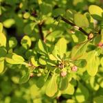 Berberis thunbergii 'Tiny Gold' - Berberis thunbergii 'Tiny Gold' - Zuurbes