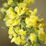 Cytisus scoparius 'Golden Sunlight' - Brem - Cytisus scoparius 'Golden Sunlight'
