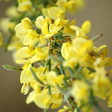 Cytisus scoparius 'Golden Sunlight'