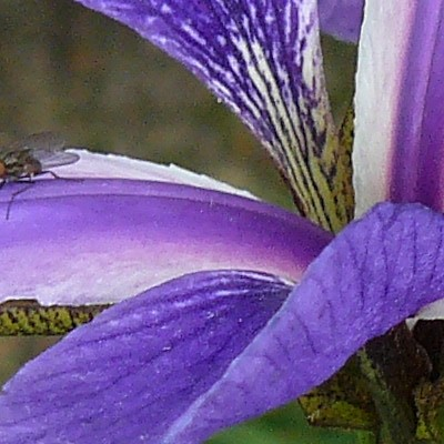 Iris x robusta 'Gerald Darby' -