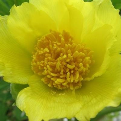 Paeonia lutea var. ludlowii - Boompioen - Paeonia lutea var. ludlowii