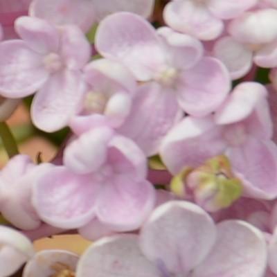 Hydrangea  macrophylla  'Trebah Silver' -