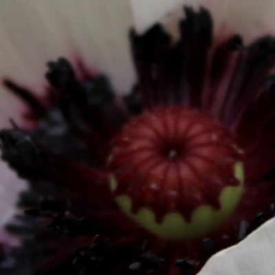 Papaver orientale 'Perry's White' - Papaver
