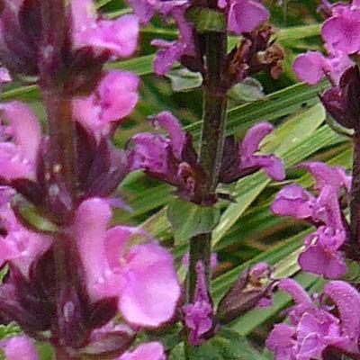 Salvia nemorosa 'New Dimension Rose' -
