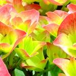 Hydrangea macrophylla 'Green Shadow' - Hortensia - Hydrangea macrophylla 'Green Shadow'