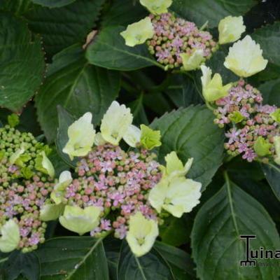 Hydrangea macrophylla 'Green Tonic' -
