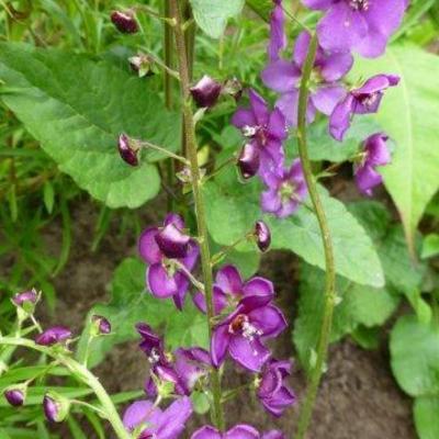 Verbascum atroviolaceum -