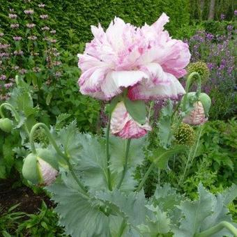 Papaver somniferum 'Flemish Antique'