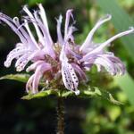 Monarda bradburiana - Bergamotplant - Monarda bradburiana
