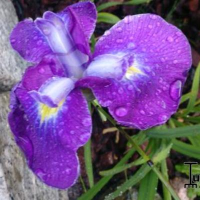 Iris ensata 'Cry of Rejoice' -