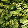 Gele Californische cypres)  - Chamaecyparis lawsoniana 'Ivonne'