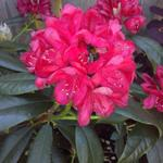 Rhododendron 'Nova Zembla' - Rododendron - Rhododendron 'Nova Zembla'