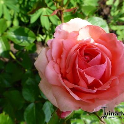 Rosa 'Kimono' -
