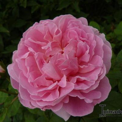 Rosa 'Madame Pierre Oger' -