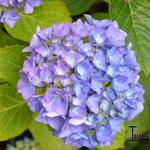 Hydrangea macrophylla 'Renate Steiniger' - Bolhortensia - Hydrangea macrophylla 'Renate Steiniger'