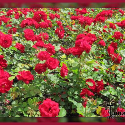 Rosa 'Lilli Marleen' -