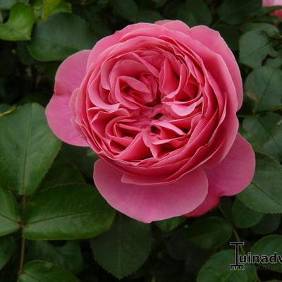 Rosa 'Wisley' -