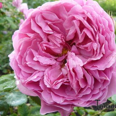 Rosa 'Princess Alexandra of Kent' -