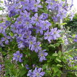 Clematis viticella 'Prince Charles' - Bosrank