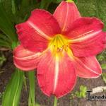 Hemerocallis 'Red Rum' - Daglelie