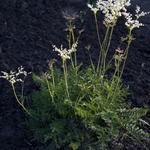 Filipendula vulgaris - Knolspirea - Filipendula vulgaris