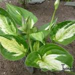 Hosta 'Midnight at the Oasis' -