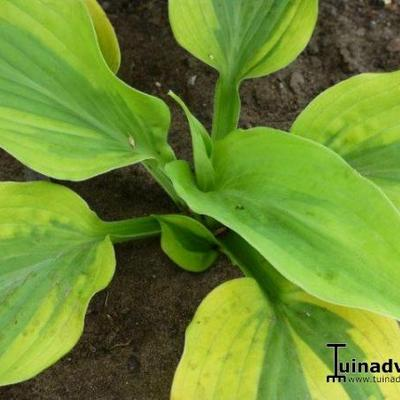 Hosta 'Goodness Gracious' -