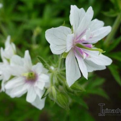 Geranium pratense 'Algera Double' -