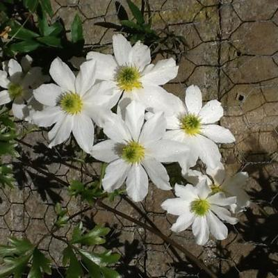 Clematis 'Early Sensation' - Bosrank