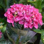 Hydrangea macrophylla 'Merveille Sanguine'  - Hortensia - Hydrangea macrophylla 'Merveille Sanguine'