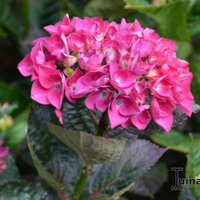 Hydrangea macrophylla 'Merveille Sanguine'  -
