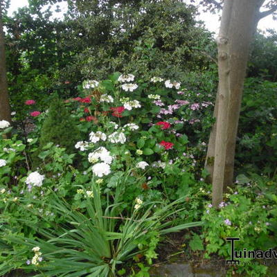 Hydrangea -