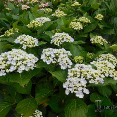 Hydrangea macrophylla 'Ayesha' -