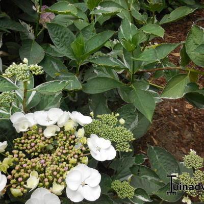 Hydrangea macrophylla 'Tricolor' -