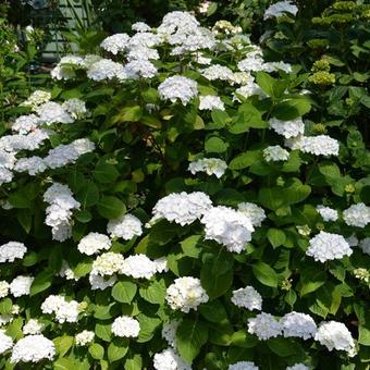 hortensia bolhortensia hydrangea macrophylla 39 endless. Black Bedroom Furniture Sets. Home Design Ideas