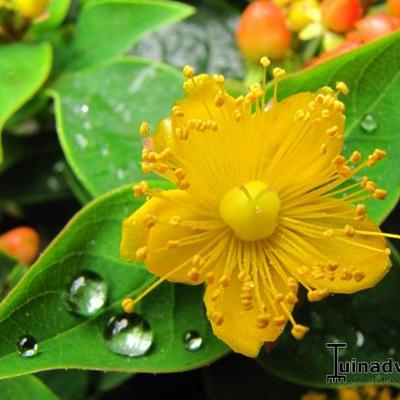 Hypericum inodorum 'Elite Sweet Lion' -
