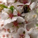 Prunus tomentosa - Sierkers - Prunus tomentosa
