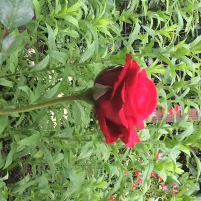 Rosa 'Alexander' -