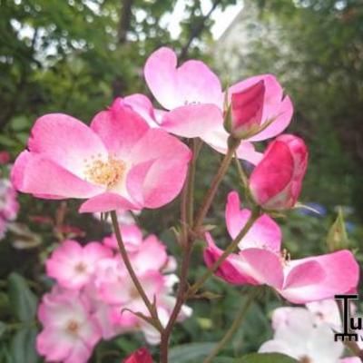 Rosa 'Rush' -