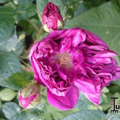 Rosa 'Deuil de Paul Fontaine' -