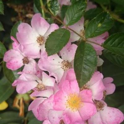 Rosa 'Robe de Soie' -