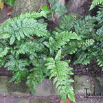 Polystichum polyblepharum 'Jade'  - Polystichum polyblepharum 'Jade'  - Glansschildvaren