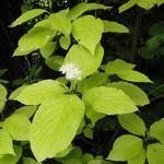 Cornus alba 'Aurea' - Cornus alba 'Aurea' - Witte kornoelje