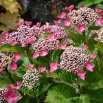 Hydrangea macrophylla 'Kardinal' - Teller hortensia , Rode Teller, lacecap hortensia - Hydrangea macrophylla 'Kardinal'