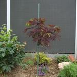 Albizia julibrissin 'Summer Chocolate' - Slaapboom