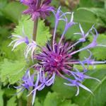 Centaurea montana 'Grandiflora'  - Korenbloem - Centaurea montana 'Grandiflora'