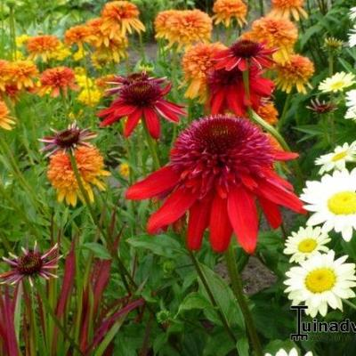 Echinacea purpurea 'SOMBRERO Salsa Red' -
