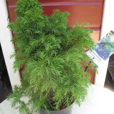 Cryptomeria japonica 'Monstrosa Nana' -